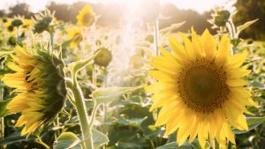 sunflowers - webdesign services in Portsmouth